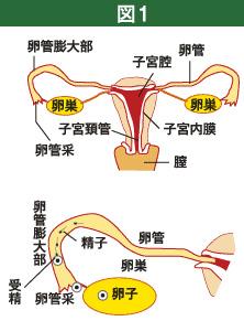 受精できる精子はチャンピオン